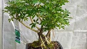Hawaiian Umbrella Tree (Schefflera arboricola)