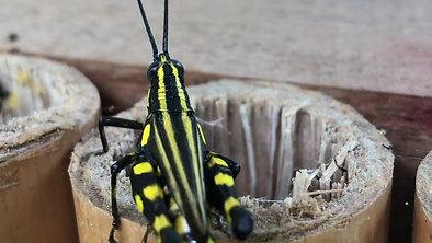 Sauterelle noire à rayures jaunes