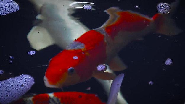 KoiAqua Imagefilm
