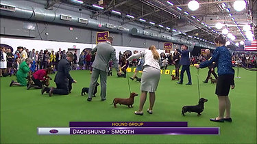 Lincoln competing for Best of Variety at the 2017 Westminster Kennel Club