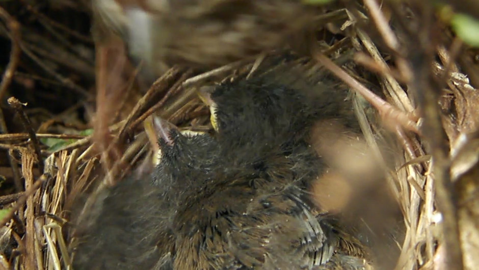 Song Sparrow Chicks (2012)