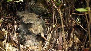 Song Sparrow Feeding and Fledging (2012)