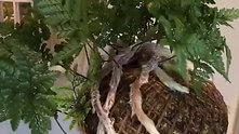 rabbits foot fern kokedama