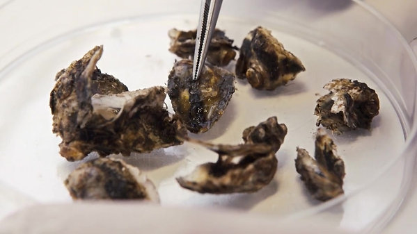 Oysters in hot water