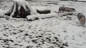 Schweine, die durch den Schnee toben
