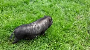 Auch Schweine fressen Gras