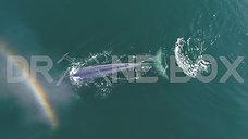 Des drones au service des baleine