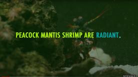 Peacock Mantis Shrimp are Radiant
