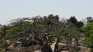 Baobab de l'Esperanto Lodge