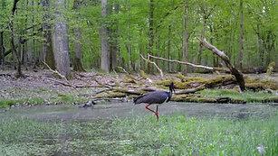 Bocian czarny we Wdeckim Parku Krajobrazowym