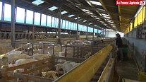 Elevage  « Dans ma stabulation, vaches et brebis se font face »
