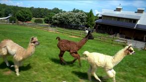 Visit NC - Divine Llama Vineyards