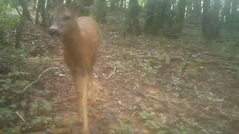 Roe Deer/ chevreuil