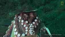 Octopuses 101  Nat Geo Wild