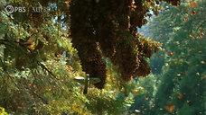 Watch a Breathtaking Monarch Butterfly Swarm