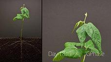 Bean Germination - Time Lapse