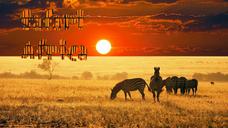 Safari Africa - Zebras