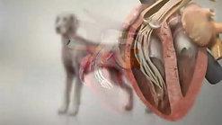 Canine Heartworm Disease - YouTube (360p)