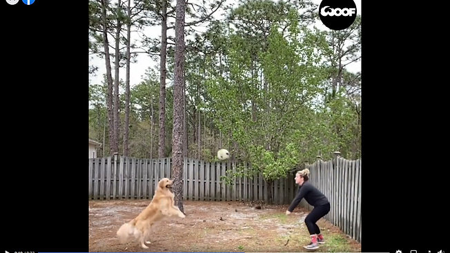 Golden Retriever Dog Plays Volleyball With Owner