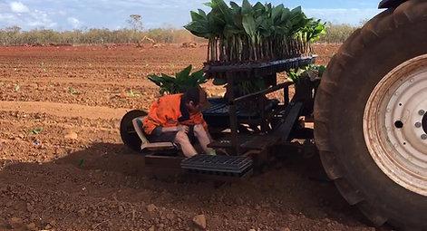Mareeba planting
