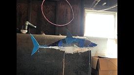 Great White Shark Process Video