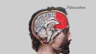 Organisation cytoarchitectonique des 3 cerveaux