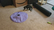 Blind kitten Stevie discovers a new toy.