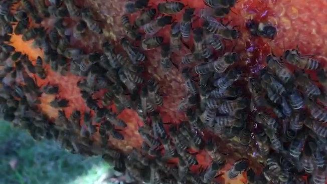 Bees on Fresh Honeycomb