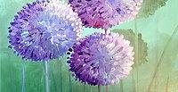Allium flower study