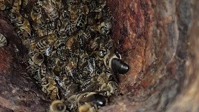 Natural Oak Tree Cavity Nest
