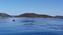 Dolphin spotting with Speed boat Zadar