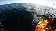Landing a King Fish