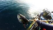 30lbs  Black Fin Tuna