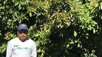 #YoConAustar Aguacate en Michoacán