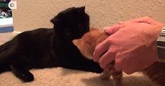 Как познакомить двух кошек איך להכיר בין חתולים