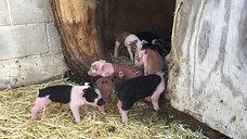 Piglets Exploring