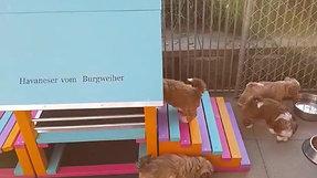 """""""Havaneser vom Burgweiher"""", Nelly Sarno"""