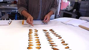 Butterfly Autopsies Reveal Potential Predators