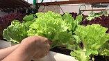 Farm operator is harvesting leaf lettuce
