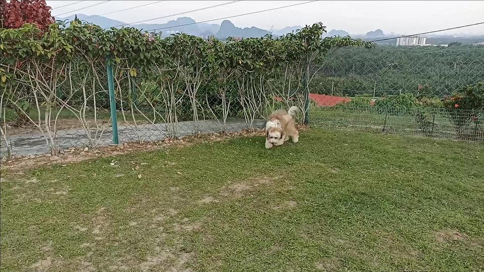 Tibetian Terrier