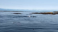 Killer Whales off The 19th Tee