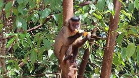 Monkey in Nobres