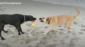 Bear and Emma playing tug