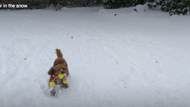 Ginger in the snow