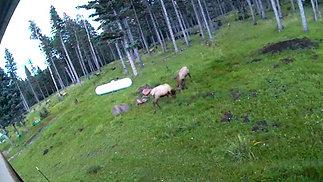 Elk Fight 1