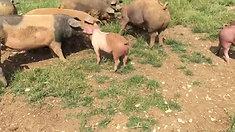 Neuzugang auf der Schweineweide