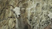Ram - Rams