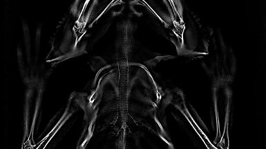 Video through Tomosynthesis slices of a Bearded Dragon