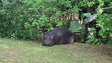 Hippo in St Lucia KZN