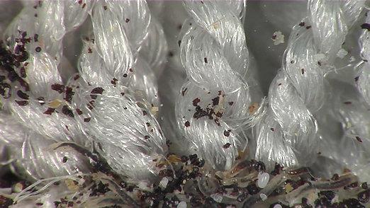 Flea Larvae And Eggs in Your Carpet